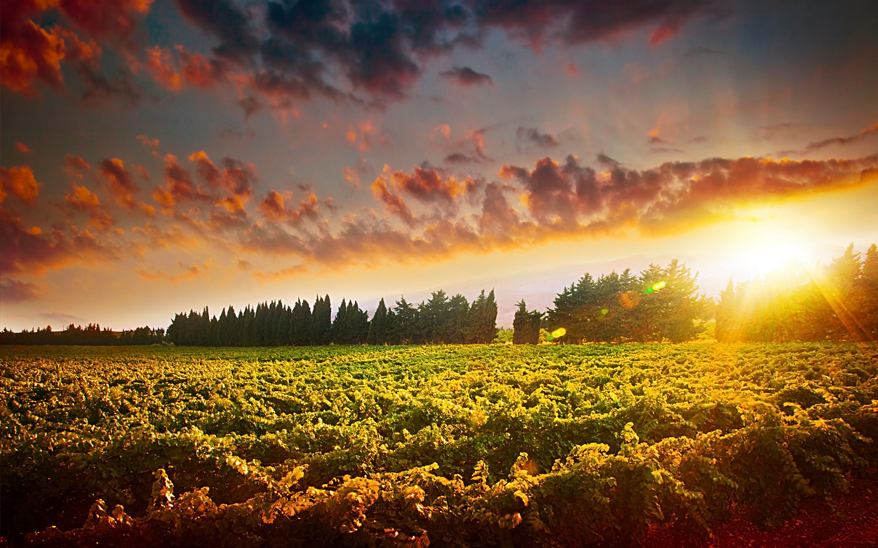 Stunning sunset landscape of grape field